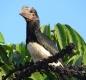 Trumpetor Hornbill